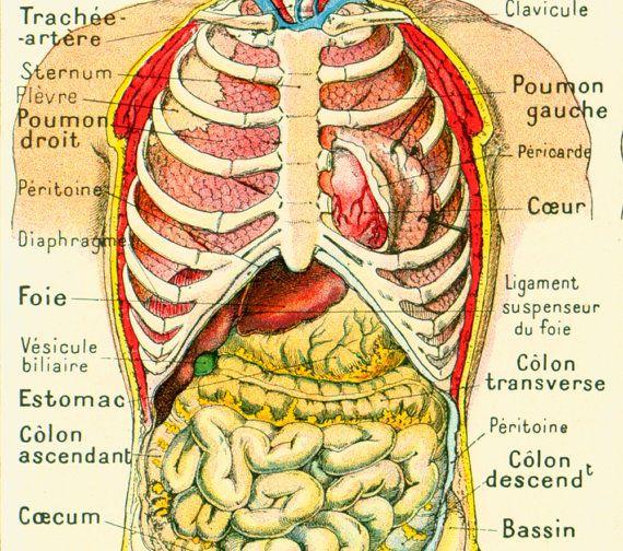 Anatomie Du Corps Humain 1912 corps humain anatomie torse visceres par sofrenchvintage