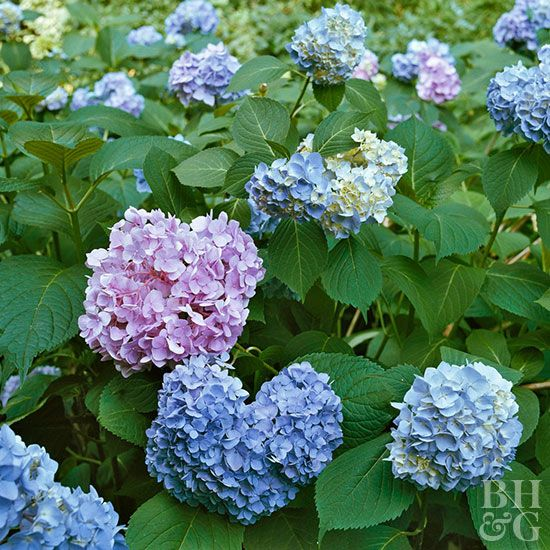 The key to getting more hydrangea flowers is to understand which hydrangea you're growing. Each type has slightly different requirements. Our helpful guide will help you choose the best hydrangeas for your yard.