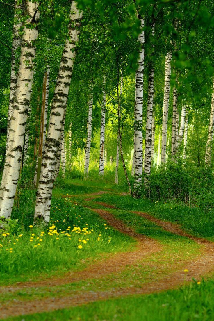 Lane through the birch trees (Finland) by Laura Lakstedt on 500px