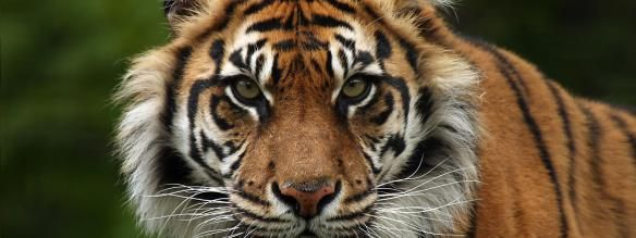 Sumutran Tiger. Population: less than 400. Scientific Name: Panthera tigris sumatrae. Weight:165 – 308 pounds.Habitats: Tropical Broadleaf Evergreen, Forest, Peat Swamps, and Freshwater Swamp Forests Today, the last of Indonesia's tigers—now less than 400—are holding on for survival in the remaining patches of forests on the island of Sumatra. Accelerating deforestation and rampant poaching mean this noble creature could end up like its extinct Javan and Balinese relatives.