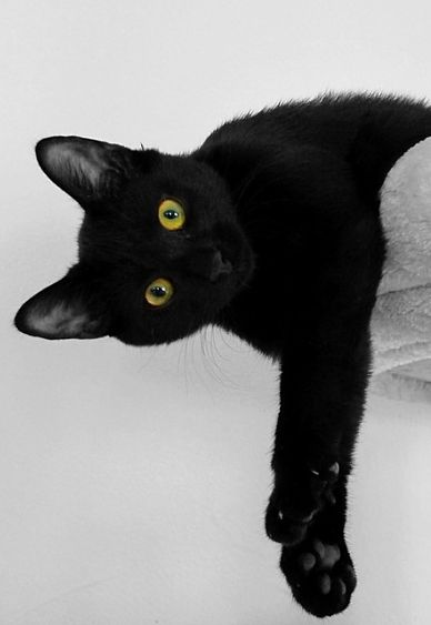 "** BOMBAY CAT: "" We wuz de ones bred to resemble mini- panthersl Sleek andz well- muscled; we kin body slam an adversary betters den your average kitteh."