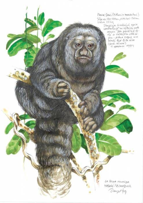 Chvostan kosmatý; Ecuador 1999; Jan Dungel