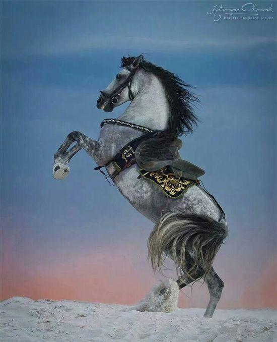 Rearing dapple grey horse