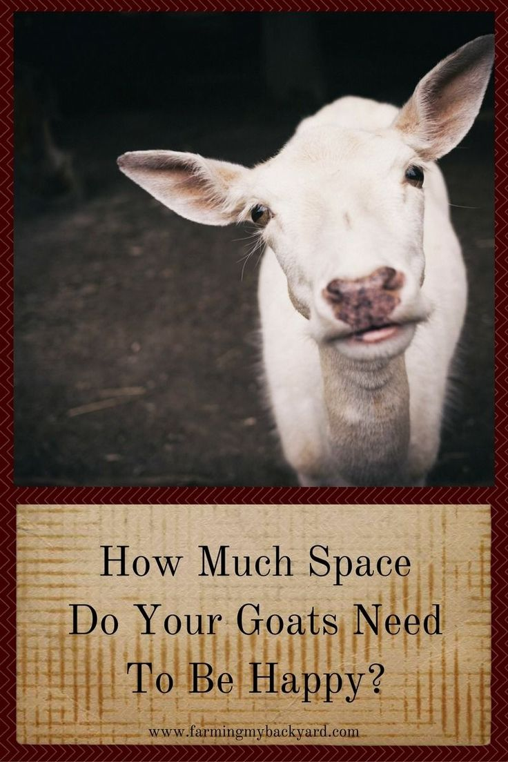 Thinking about getting goats? Do you have enough space? How much space do your goats need to be happy anyway?: