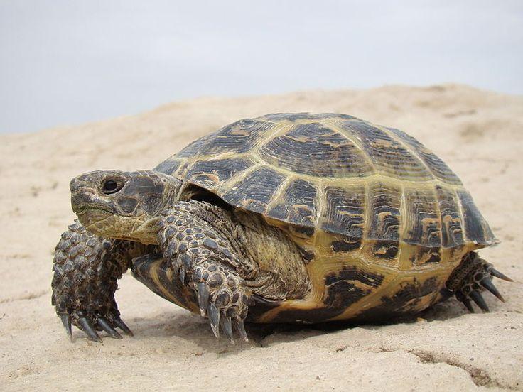 Želva stepní