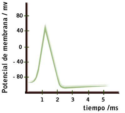 Resultado de imagen para membrana plasmatica y potencial de accion