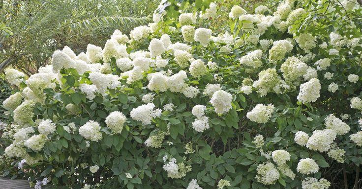 die besten 25 bauernhortensie ideen auf pinterest gr ne hortensien hortensie und stecklinge. Black Bedroom Furniture Sets. Home Design Ideas