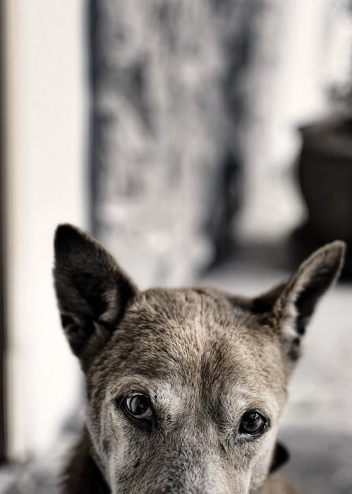 .the eyes are the window...: Doggy Eyes, Animals, Old Dogs, Window, Creatures, Baby Dogs, Senior Dogs