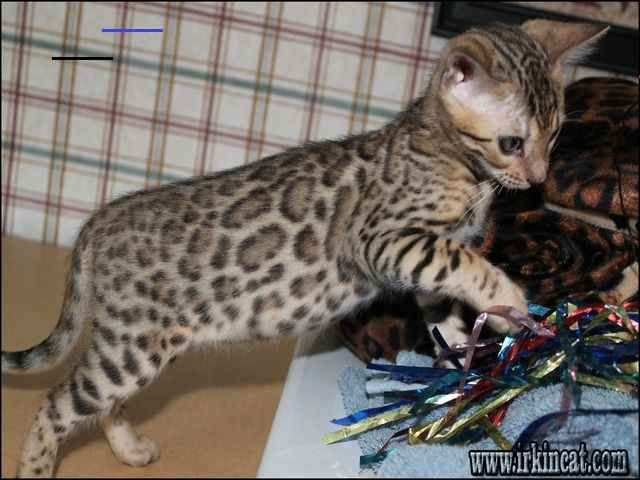 Bengal Kittens For Sale In Nc Bengalkittens In 2020 Eukleides