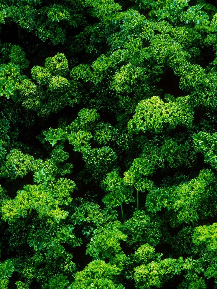 the parsley garden Parsley seed moss curled parsley item #02830buy me flat and curled varieties are available parsley is a hardy biennial herb usually grown as an annual it is available in both flat and curled leaf varieties, and flat leaf types are the most flavorful for cooking.