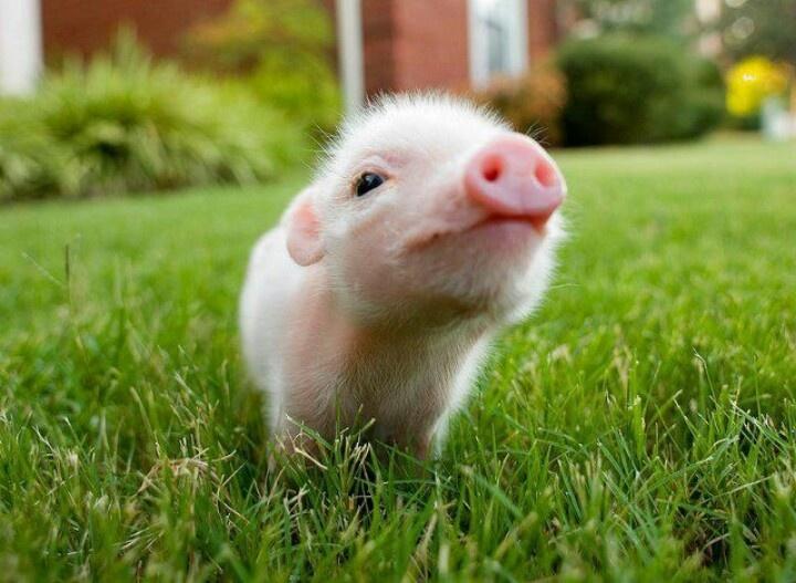 Lil piggy!