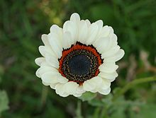 Venidium fastuosum - White.jpg Venidium fastuosum is a species of flowering plant in the aster family known by the common names monarch of the veld, Cape daisy, and Namaqualand daisy. It is native to South Africa and Namibia, and it is cultivated as an ornamental plant for its flowers. It is an annual herb growing up to about 35 centimeters in maximum height,