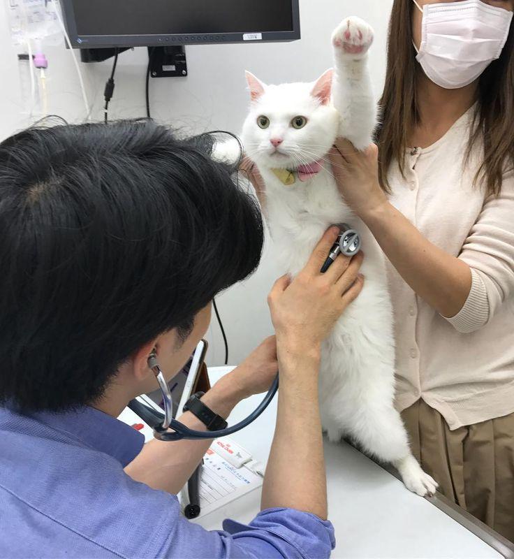 キャスは 元気がない食欲がないのは 口の周りの顎ニキビがクラッシュして痛いからだったみたい あとやっぱり 生まれてすぐ噛まれたことでおしりの神経がちょっとダメなのかもってw 便秘ちゃんなのは 神経が原因で腸が肥大する病気?みたいなので💩が太くなって出なくなっちゃう系なやつ テキトーww 塗り薬ですみそうでよかった♡ #白猫#猫#ねこ#にゃんこ#ネコ#白猫部#ねこ部#neko#whitecat# #にゃんだふるらいふ #cat#cats#シャニケン兄妹#しろねこ#病院 #にゃんすたぐらむ#catsofinstagram #catstagram