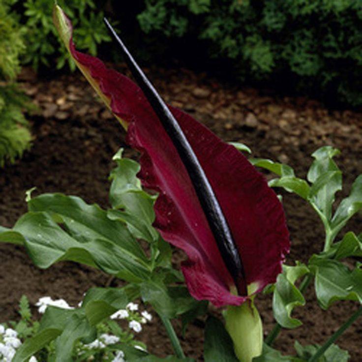 Dracunculus Vulgaris Dragon Arum Perennial Summer Dragon Lily Bulbs #Gardens2you