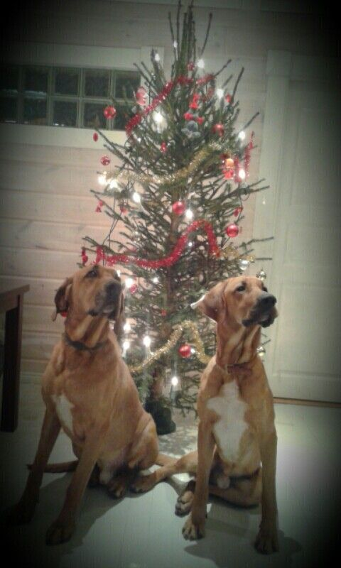 Broholmer boys Nalle (8 years old) and Baloo (1 year old) waiting for Santa. :)