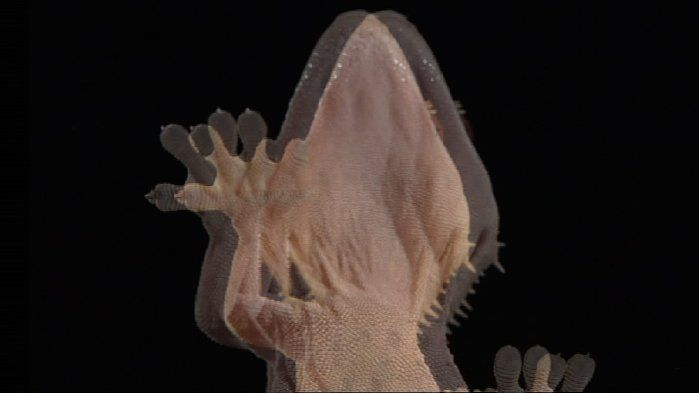 Geckos' sticky feet - Technologies (7,8,9,10). Have you ever wondered what it would be like to walk up a wall like a gecko? The scientists in this video have observed and studied the properties of gecko feet to develop products that can help us in our day-to-day lives. Can you think of some other special abilities of some animals that we could study and possibly replicate for our own use?