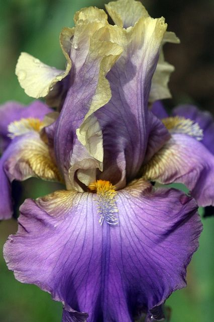 Iris Two | Flickr - Photo Sharing!