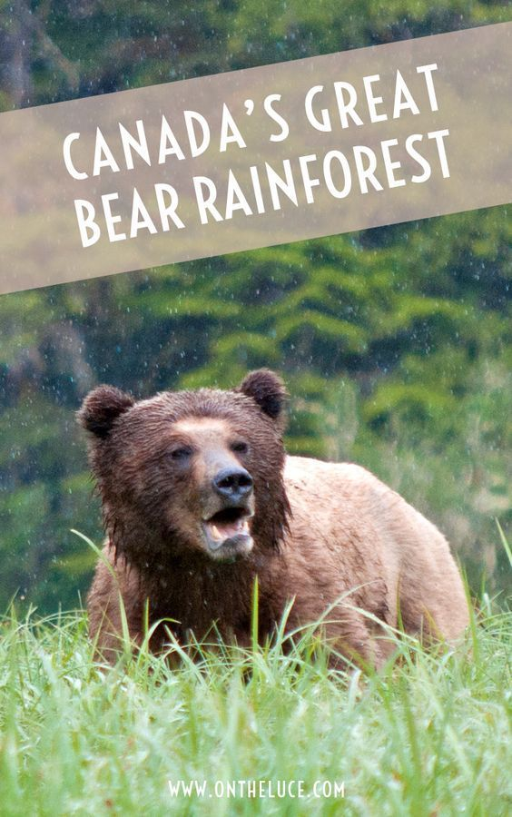 Exploring the Great Bear Rainforest, one of the world's rare temperate rainforests, a land of mist and water that's the home of the grizzly bear – British Columbia, Canada