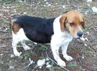 Lucy is a senior Beagle, 10 - 12 years old, who was originally taken in to the County Animal Shelter.  She came to us with a puncture wound of unknown origin in her rear leg.  She was also starved when she came to us, but now is doing well and...