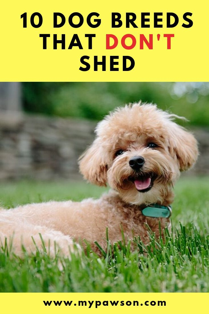 Low Shedding Or Hypoallergenic Dogs Are More Popular Than Ever Although All Dogs Shed To Some Degree Dog Breeds That Dont Shed Hypoallergenic Dogs Dog Breeds