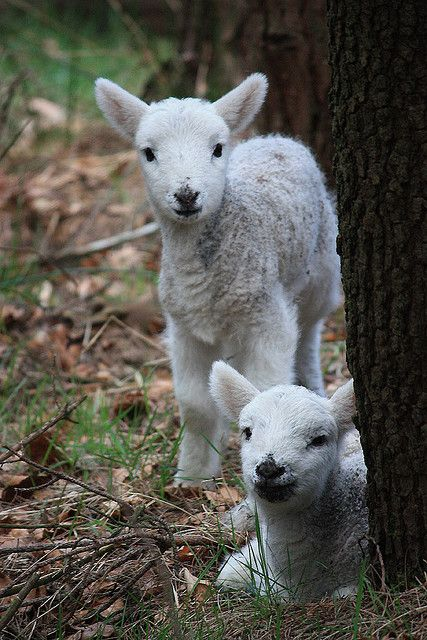 Spring lambs in woods above Dove Stones reservoir in Saddleworth.