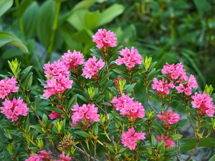 Rhododendron ferrugineum ( Alpenrose) is an evergreen shrub that grows up to 3.3 feet (1 m) tall and produces clusters of pinkish-red...