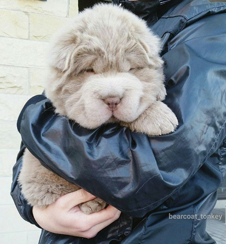 Tonkey the bear-coat Shar Pei