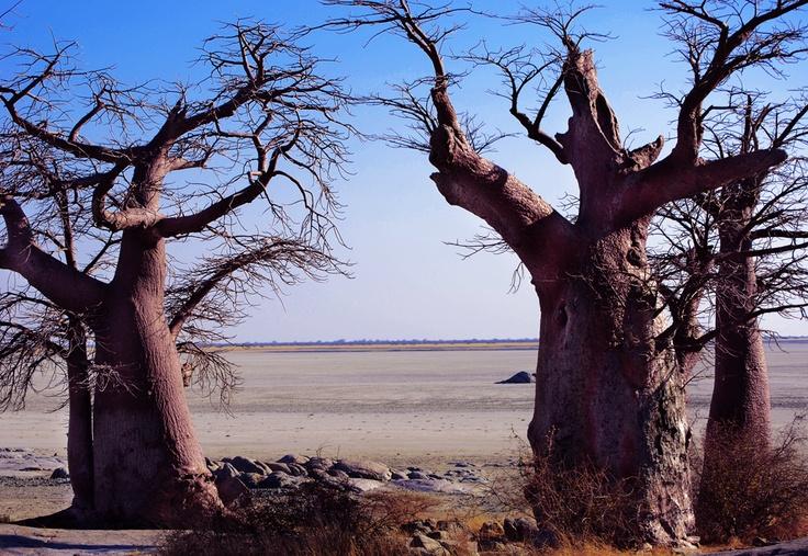 Kubu Island, Botswana: Beautiful Boababs, the upside down tree. The view gets better as the sun sets!