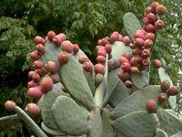 Cette variété de ''Figuier de Barbarie'' à fleurs jaunes donne de gros fru...