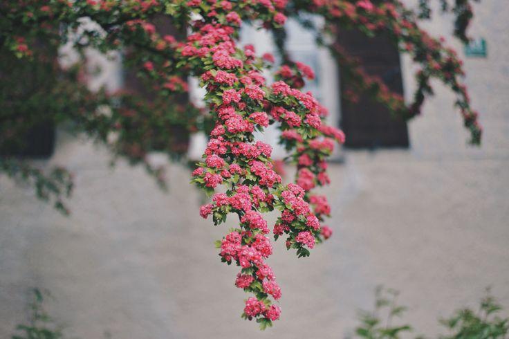 flowers,murnau,germany