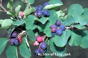 Scientific Name: Amelanchier alnifolia  Common Name(s): Saskatoon Berry  Edible: yes  Medicinal: yes  Parts Used: fruit