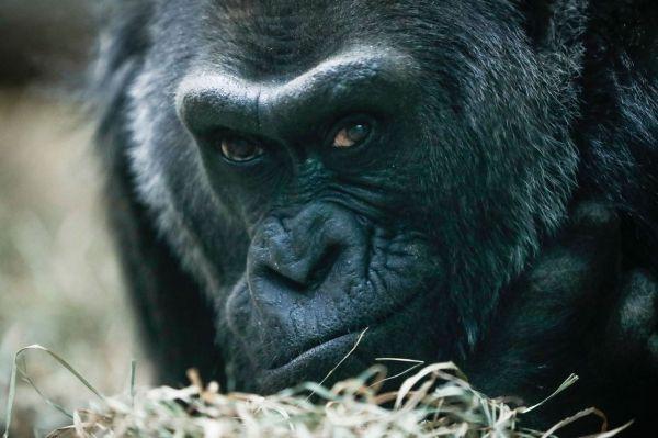 Conozca al gorila más viejo del mundo. Visite nuestra página y sea parte de nuestra conversación: http://www.namnewsnetwork.org/v3/spanish/index.php #nnn #bernama #malasia #malaysia #usa #ohio #kl #asia #africa #zoo #noticias #news #vida #monos #monkeys