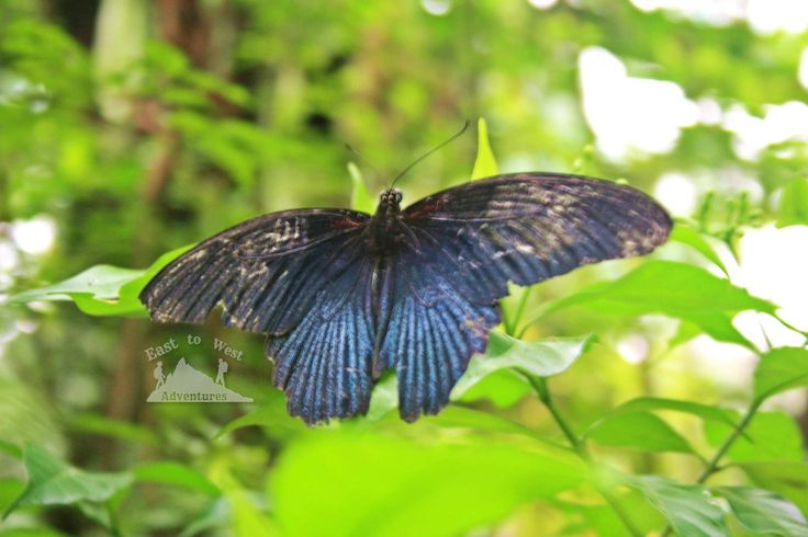 Butterfly heaven 🦋who doesn't like butterflies 🦋🦋💙💜 مين ما بحب الفراشات 🦋💙 حديقة الفراشات جنة على الارض 💜🦋 #تصويري #مدونة #سفر #سافر #مسافرون #مسافرون_العرب #مغامرات_من_الشرق__الى_الغرب  #كوالامبور #ماليزيا #حدائق #حديقة_الفراشات #حديقة_الفراشات_ماليزيا #فراشة  #easttowestadventures #travelblogger  #travelphotographer #blogger #malaysia #kualalumpur #gardens #thingstodo #thingstodoinkualalumpur #butterflygarden #butterfly