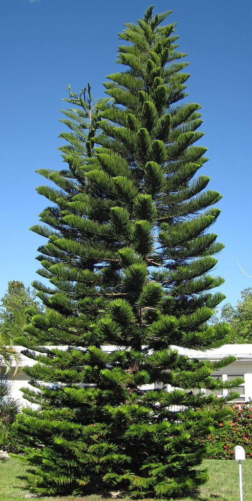 Araucaria Heterophylla Norfolk Island Pine Trees