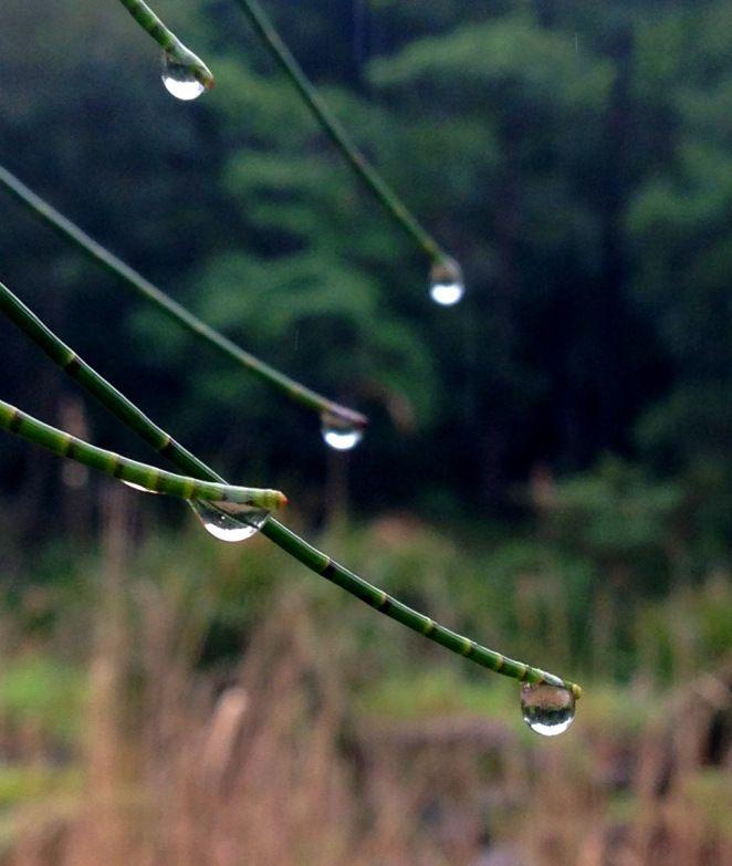 Raindrops on tree tips