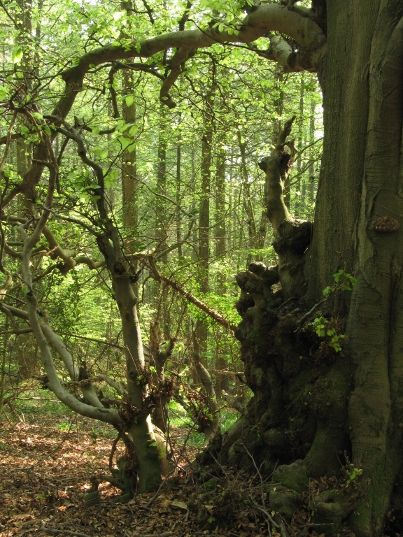 #WentwoodForest in #Monmouthshire. #Wales #Wentwood http://www.woodlandtrust.org.uk/visiting-woods/wood/5581/wentwood/? utm_source=pinterest&utm_medium=social&utm_campaign=wt_2015 #ForestRetreat #UKgetaway
