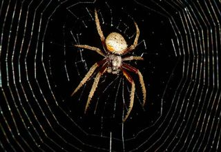 Spider Yelling