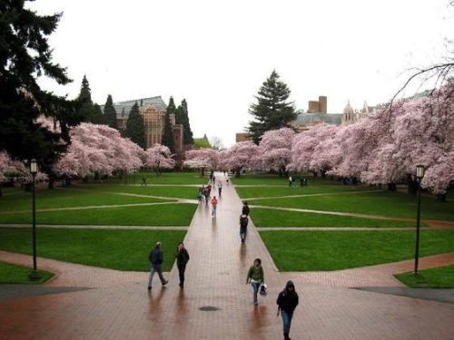 University of Washington-Seattle...The 'quad' during Cherry Blossom time (spring).  Gorgeous beyond words.