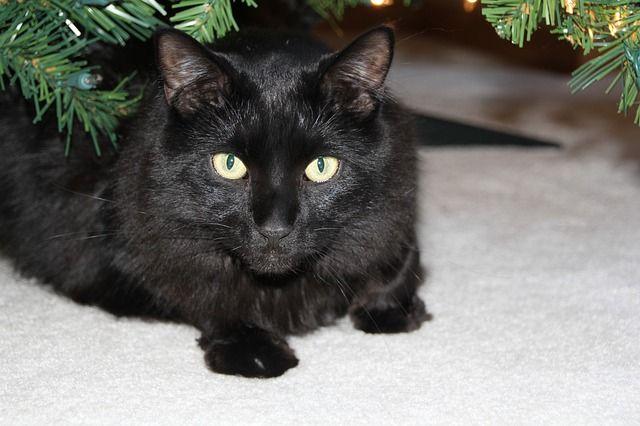 Beberapa budaya menganggap kucing hitam sebagai lambang kejahatan sedangkan yang lain meyakini bahwa kucing hitam membawa keberuntungan.