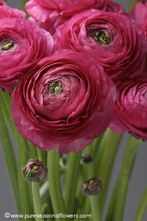 Die Ranunkel  -  Ranunculus                              …                                                                                                                                                                                 Mehr