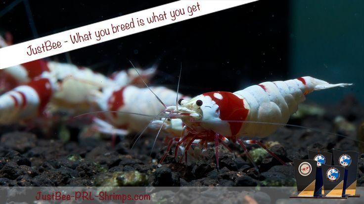 JustBee PRL RedBee Shrimp