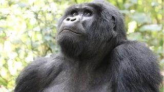 The Incidental Tourist. Gorilla Trekking In Uganda