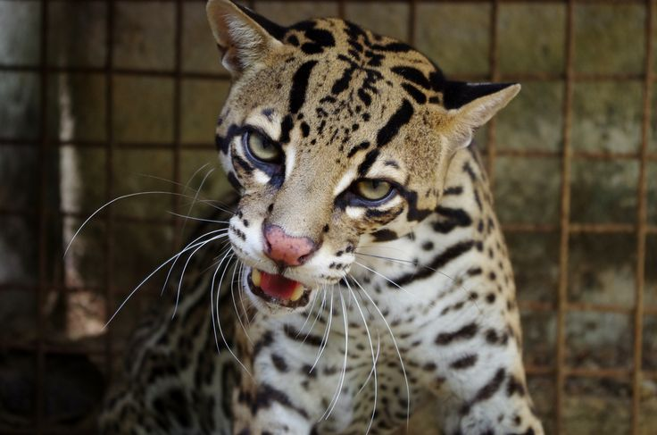 Unlike many cats, the ocelot does not avoid water and can swim well!