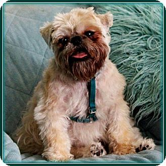 1000+ images about Brussels Griffon on Pinterest Adopt A Brussels Griffon Puppy