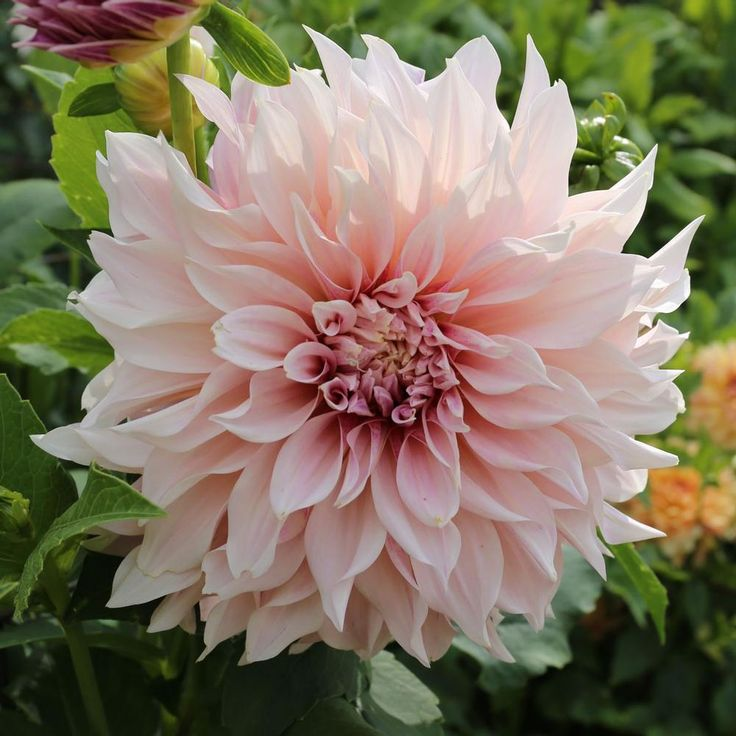 Dahlia Cafe Au Lait. These lovely, cream and pale pink dahlias are a popular choice for wedding bouquets. The extra-large flowers resemble peonies and are just as elegant.