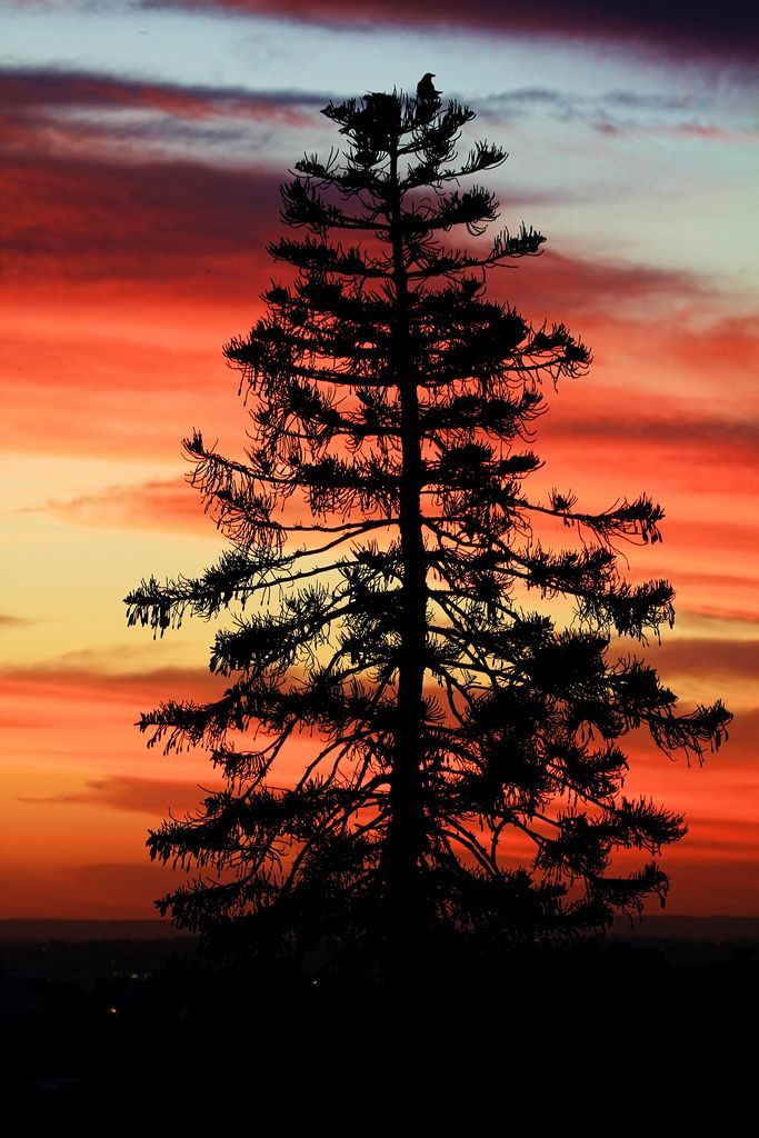 The Magnificent Norfolk Island Pine Tree - indigenous to Norfolk Island but planted all over Australia's coastline at lots of little ports and seaside towns .