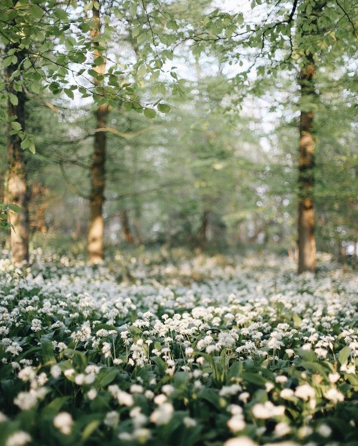 ♡♡white blossoming forest