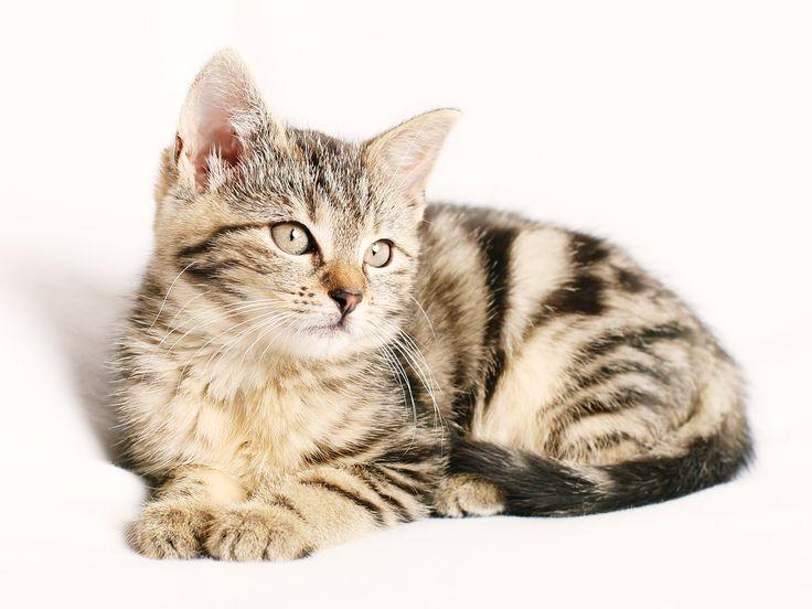 Kat, Huisdier, Gestreepte, Katje, Jonge