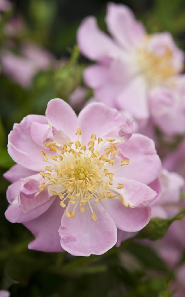 Scented roses: 'Lakeland' is a simple flowered, climbing rose, and will flower in flushes from late spring to early frosts, making it ideal against a wall or trellis. It has a light, delicate scent. Photo by Jason Ingram.