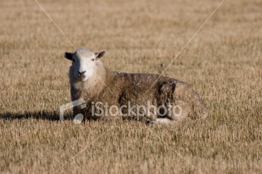 A sheep resting on recently harvested summer grain